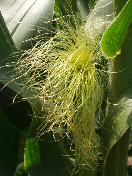 maize / Zea mays: Female inflorescence