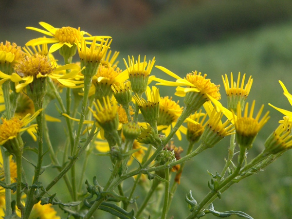 common ragwort / Jacobaea vulgaris