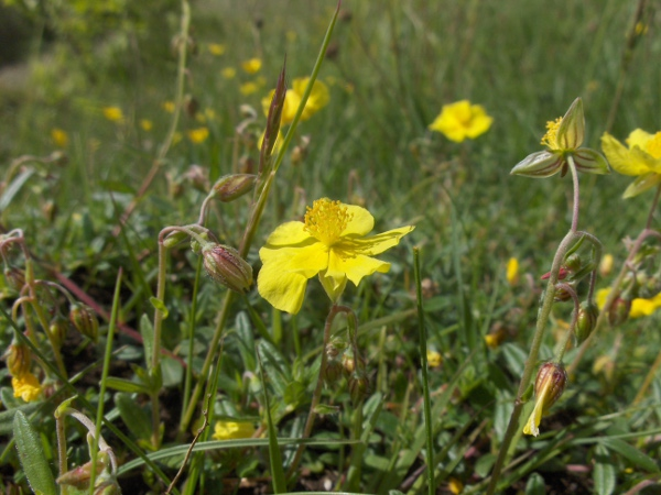 Common rock-rose / Helianthemum nummularium