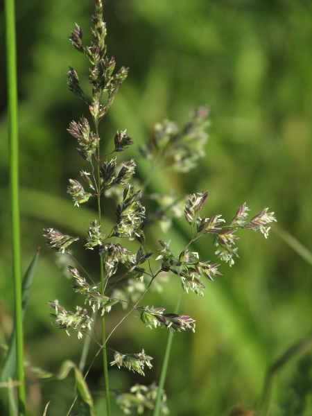 smooth meadow-grass / Poa pratensis