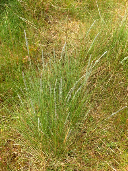 sheep's fescue / Festuca ovina: Habitus