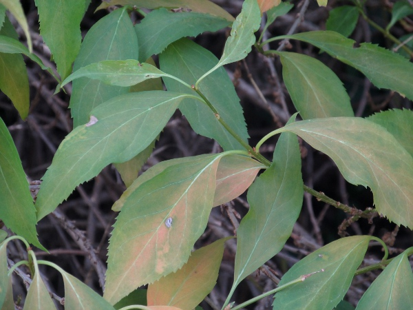 forsythia / Forsythia × intermedia: Leaves