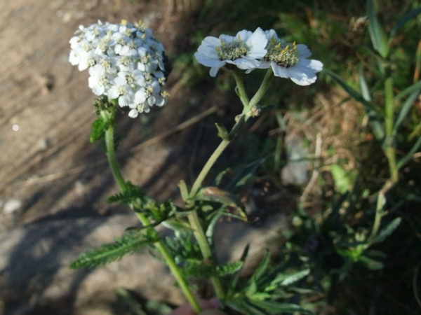 sneezewort / Achillea ptarmica: The inflorescences of _Achillea ptarmica_ (right) are noticeably larger, with fewer flowers, than those of _Achillea millefolium_ (left).