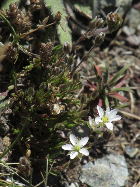 "spring sandwort / Sabulina verna: _Minuartia verna_ ""var. _gerardii_"", a dwarfed form found on the Lizard."