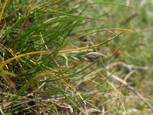 sheep's fescue / Festuca ovina: Inflorescence