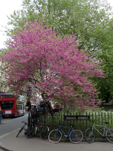 Judas tree / Cercis siliquastrum