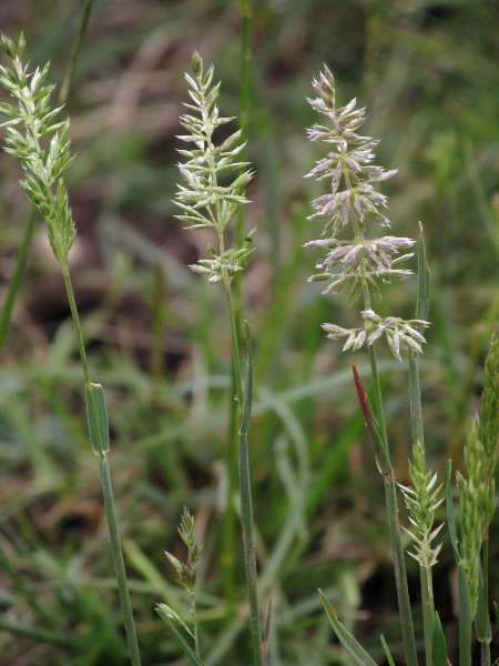 crested hair-grass / Koeleria macrantha: _Koeleria macrantha_ is a tufted grass of dry, mineral-rich soils, including dunes.