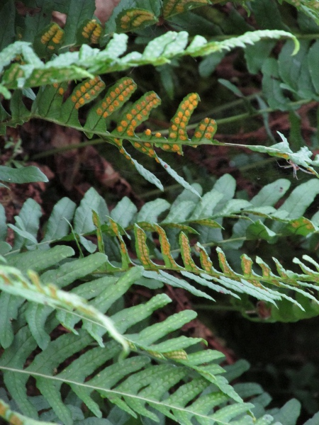 polypody / Polypodium vulgare: _Polypodium vulgare_ is our commonest polypody. It has leaves at least twice as long as wide (unlike _Polypodium cambricum_), and round sori (unlike _Polypodium interjectum_).