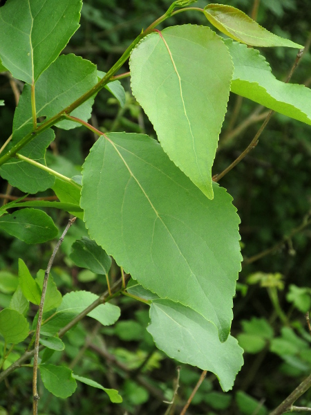 Berlin poplar / Populus � berolinensis: The leaves of _Populus_ × _berolinensis_ are broadly wedge-shaped at the base, with toothed edges.