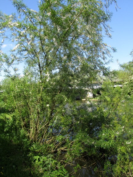 purple willow / Salix purpurea: _Salix purpurea_ is a tall shrub of river banks and other damp places.