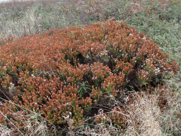 Cornish heath / Erica vagans: _Erica vagans_ grows natively on the Lizard Peninsula (VC1) and perhaps at one site in County Fermanagh, and has become naturalised elsewhere.