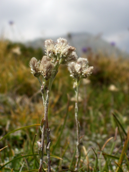 mountain everlasting / Antennaria dioica