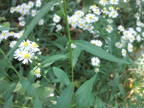 narrow-leaved Michaelmas daisy / Symphyotrichum lanceolatum
