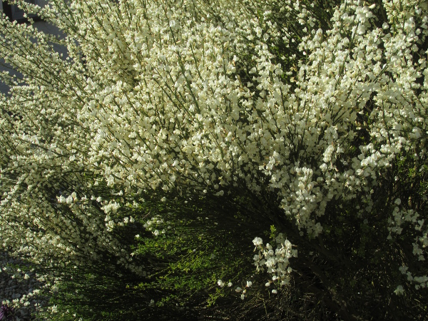 white broom / Cytisus multiflorus