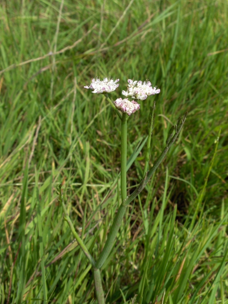 tubular water-dropwort / Oenanthe fistulosa: _Oenanthe fistulosa_ grows in wet meadows, marshes, riversides and ponds across England, Wales and Ireland, and at a few sites in Scotland; its leaves are mostly stalk, with only a short section of pinnately divided blade.