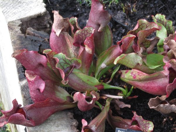 purple pitcherplant / Sarracenia purpurea: The pitchers formed from the leaves of _Sarracenia purpurea_ and _Sarracenia flava_ are unmistakeable among the British flora.