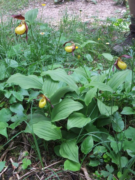 lady's slipper / Cypripedium calceolus: At one time, only a single plant of _Cypripedium calceolus_ remained in the wild in the British Isles. It has always been more abundant on the continent.