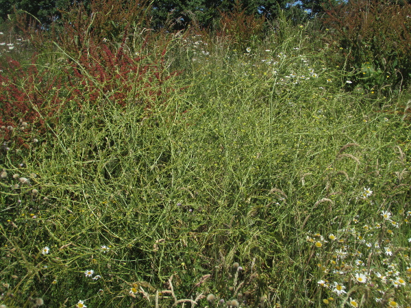 hoary mustard / Hirschfeldia incana: _Hirschfeldia incana_ is a straggling herb found in waste ground; it is native to the Mediterranean but has become spread far more widely.