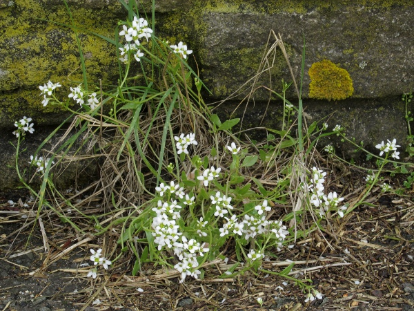 English scurvy-grass / Cochlearia anglica: _Cochlearia anglica_ has larger flowers than our other _Cochlearia_ species.