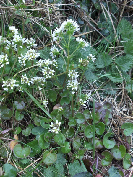 common scurvy-grass / Cochlearia officinalis: Habitus
