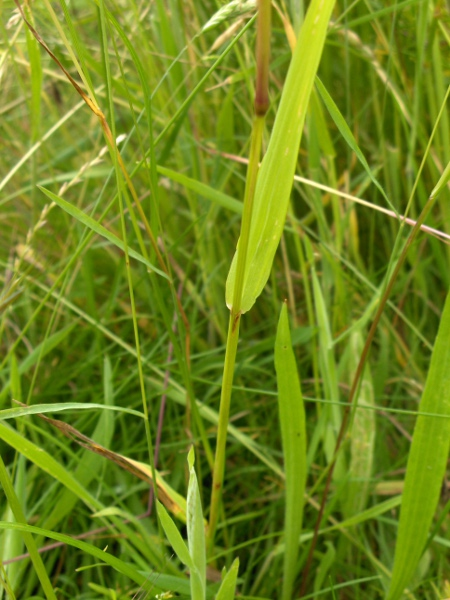 yellow oat-grass / Trisetum flavescens