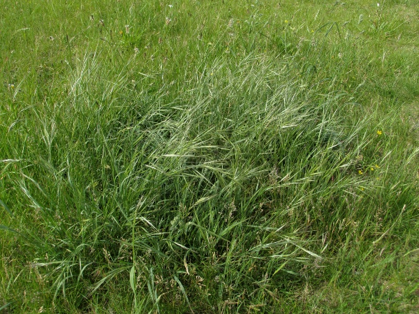 great brome / Anisantha diandra: _Anisantha diandra_ is a fairly robust grass, typically found on quite sandy soils.