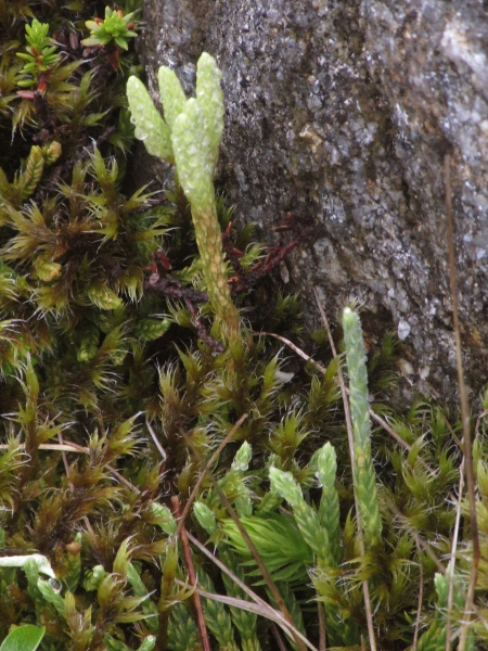 Alpine clubmoss / Diphasiastrum alpinum: The widespread _Diphasiastrum alpinum_ is more glaucous than the rarer _Diphasiastrum complanatum_, and its sterile leaves taper more gradually into the stem.
