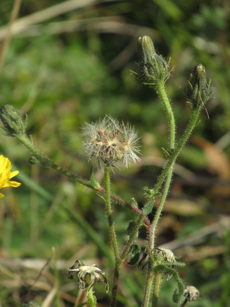 smooth hawk's-beard / Crepis capillaris