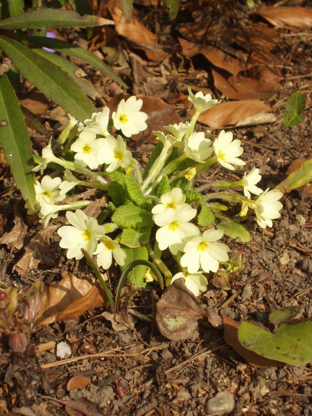 primrose / Primula vulgaris: _Primula vulgaris_ grows in woodland margins and hedgerows across the British Isles.