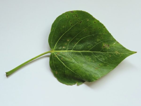 hybrid balsam-poplar / Populus � hastata: The leaves of _Populus_ × _hastata_ are slightly cordate, with a roundish petiole, broadly rounded sides, crenate margins and an acuminate tip.