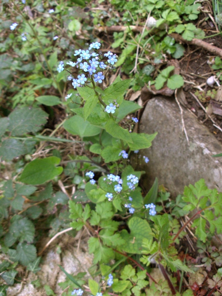 tufted forget-me-not / Myosotis laxa: Habitus