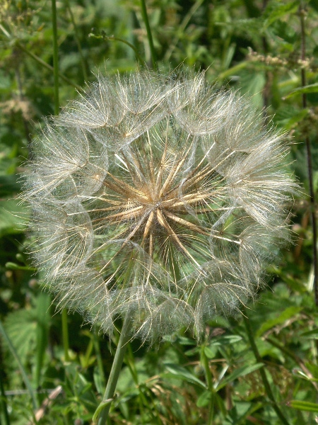 goat's-beard / Tragopogon pratensis: The seeds of _Tragopogon pratensis_ are large and have a feathery pappus.