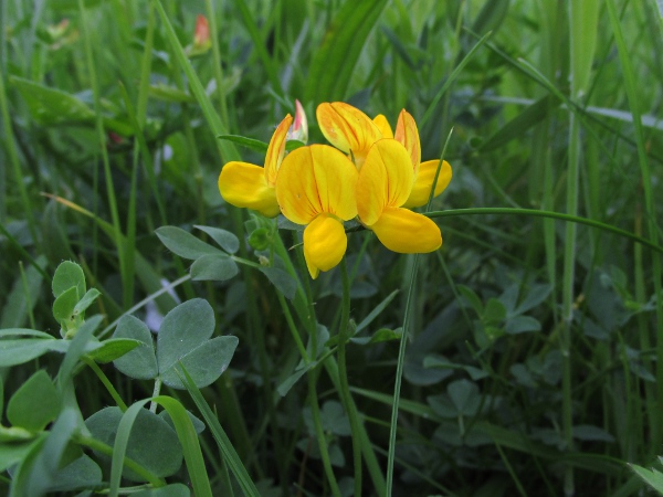 common bird's-foot trefoil / Lotus corniculatus