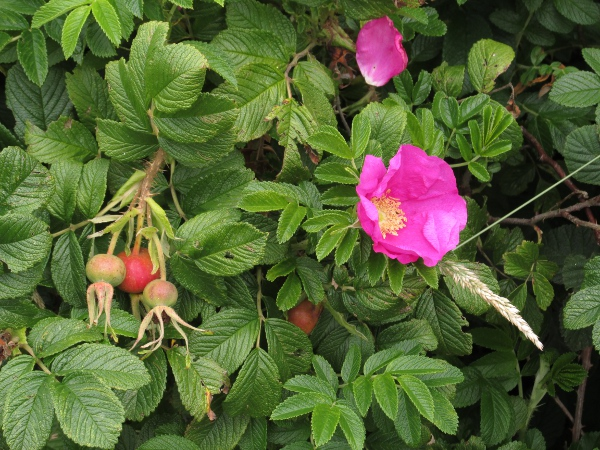 Japanese rose / Rosa rugosa: Habitus