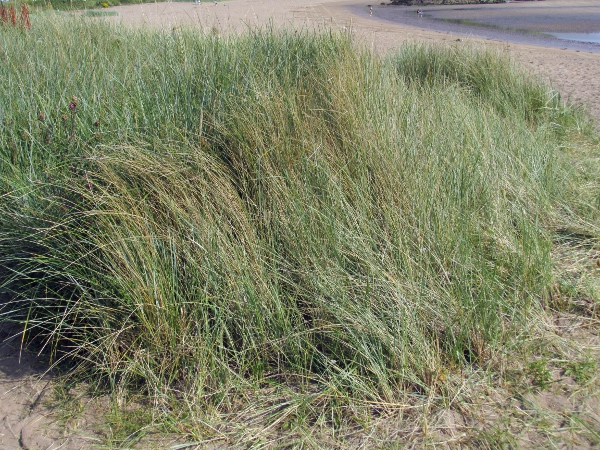 Lyme grass / Leymus arenarius: _Leymus arenarius_ is a glaucous grass that can stabilise mobile sand.