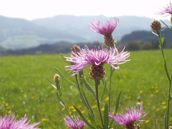 brown knapweed / Centaurea jacea