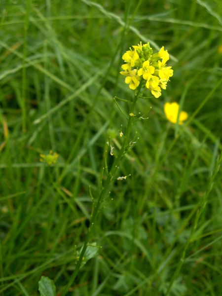 winter cress / Barbarea vulgaris: Habitus