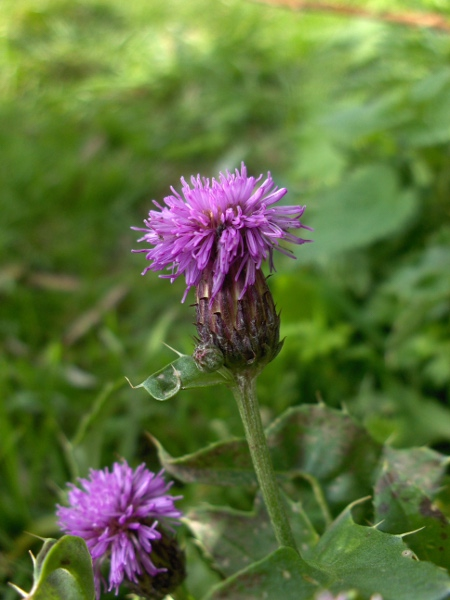 creeping thistle / Cirsium arvense