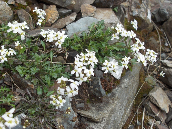 northern rock-cress / Arabidopsis petraea: _Arabidopsis petraea_ is a rare Arctic–Alpine plant found on mountains in Scotland (especially near the west coast), County Sligo and Snowdonia.