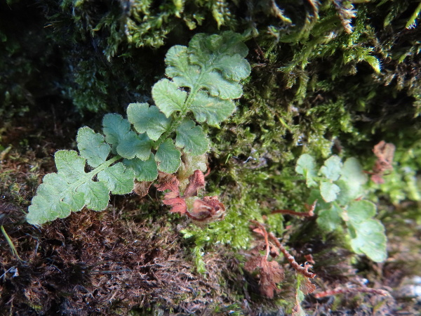oblong woodsia / Woodsia ilvensis: _Woodsia ilvensis_ is an extremely rare Arctic–Alpine fern, largely because of disastrous overcollection in Victorian times.