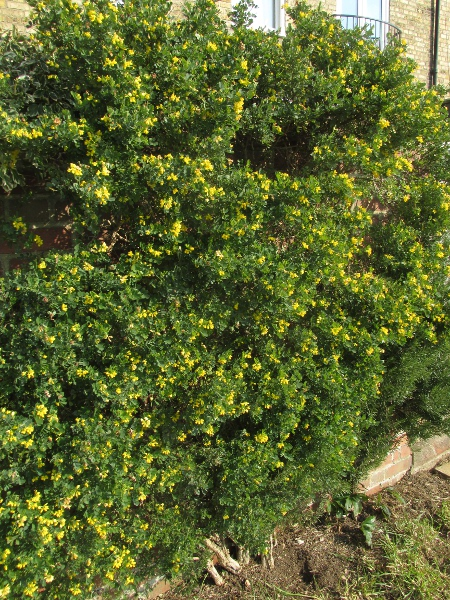 shrubby scorpion-vetch / Coronilla valentina