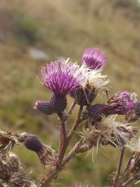 broad-winged thistle / Carduus acanthoides: Inflorescences