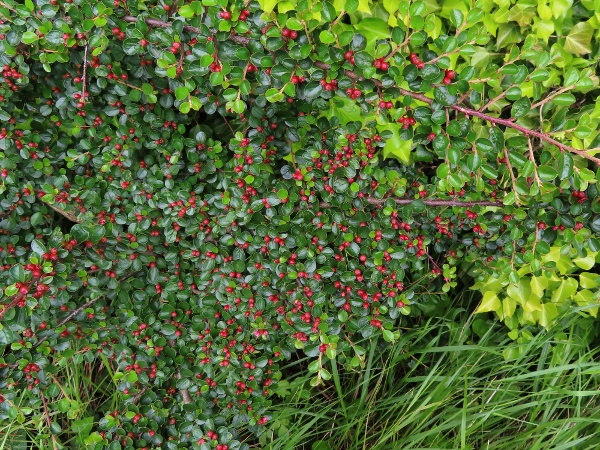wall cotoneaster / Cotoneaster horizontalis: _Cotoneaster horizontalis_ is a common garden escape; it has branches in a regular herringbone pattern, and small pink flowers that produce berries with (mostly) 3 stones each.
