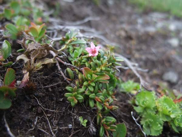 trailing azalea / Kalmia procumbens: _Kalmia procumbens_ has opposite leaves and small, pink flowers with 5-lobed corollas.