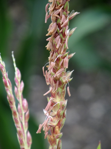 maize / Zea mays: Male inflorescence