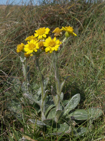 South Stack fleawort / Tephroseris integrifolia subsp. maritima