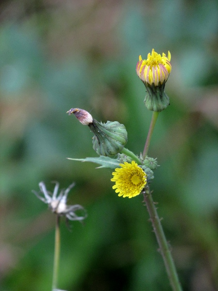 prickly sow-thistle / Sonchus asper: Inflorescences