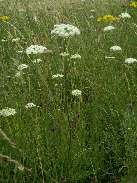 moon carrot / Seseli libanotis: _Seseli libanotis_ is a very rare umbellifer of chalk grassland.