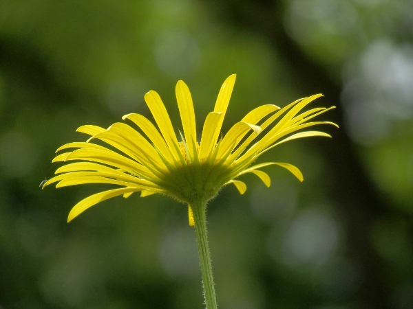 leopard's bane / Doronicum columnae: The flower-heads of _Doronicum_ species are surrounded by two rows of phyllaries of equal length.