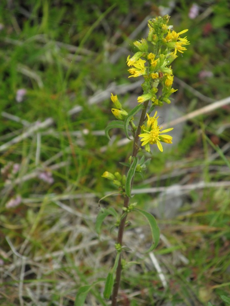 goldenrod / Solidago virgaurea